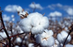 Bt Cotton future in India