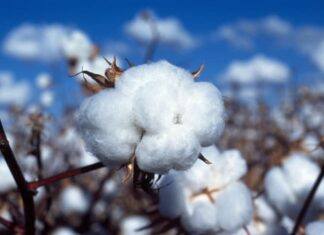 Bt cotton in India