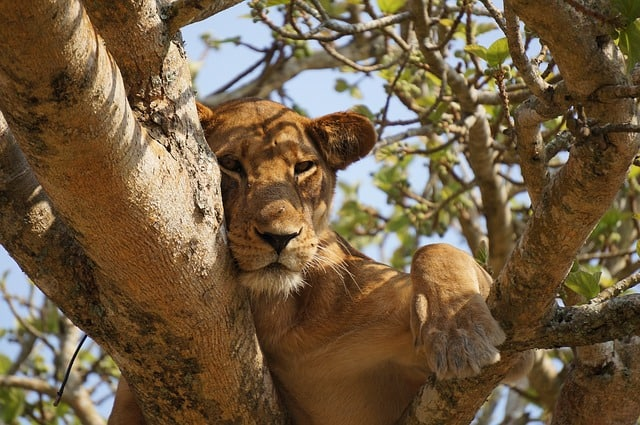 African lions under same threats as extinct, partly due to human pressure