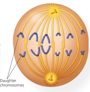 Cell cycle and their different phases | Questions | Biology Notes