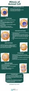 Cell cycle cell division mitosis meiosis