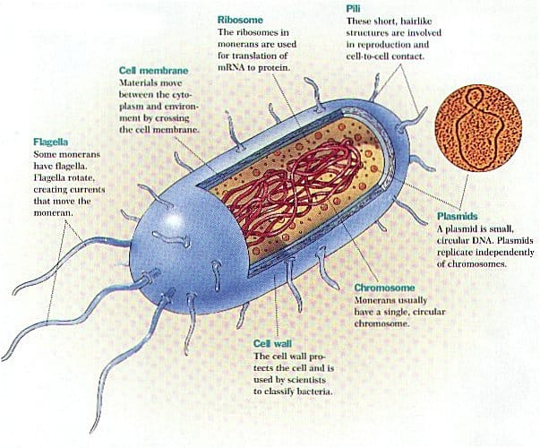 Bacteria Bacterial cells, cell wall