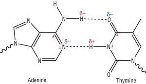 hydrogen bonding between adenine and thymine