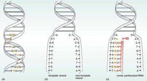Double helix unwind