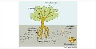 Phytoremediation