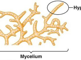 Mycelium hypha