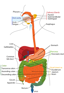 Human digestive system, Oral cavity, parotid glands mouth, oesophagus, liver gall bladder, stomach duodenusm,