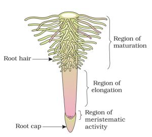 Regions of root