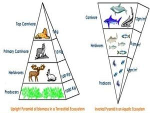 Ecological pyramids of numbers